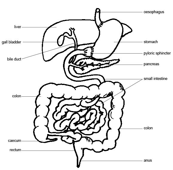 Anatomy and physiology of animals Typical mammalian gut.jpg