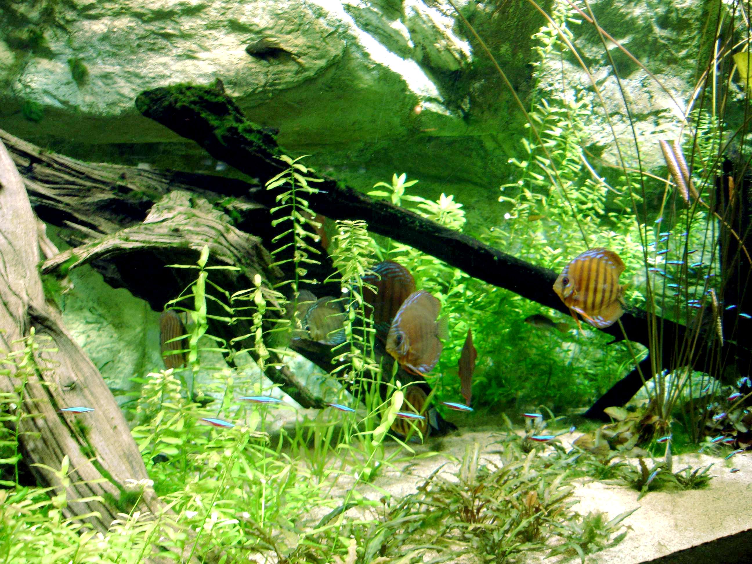 File Aquarium Tropical Discus Jpg Wikimedia Commons