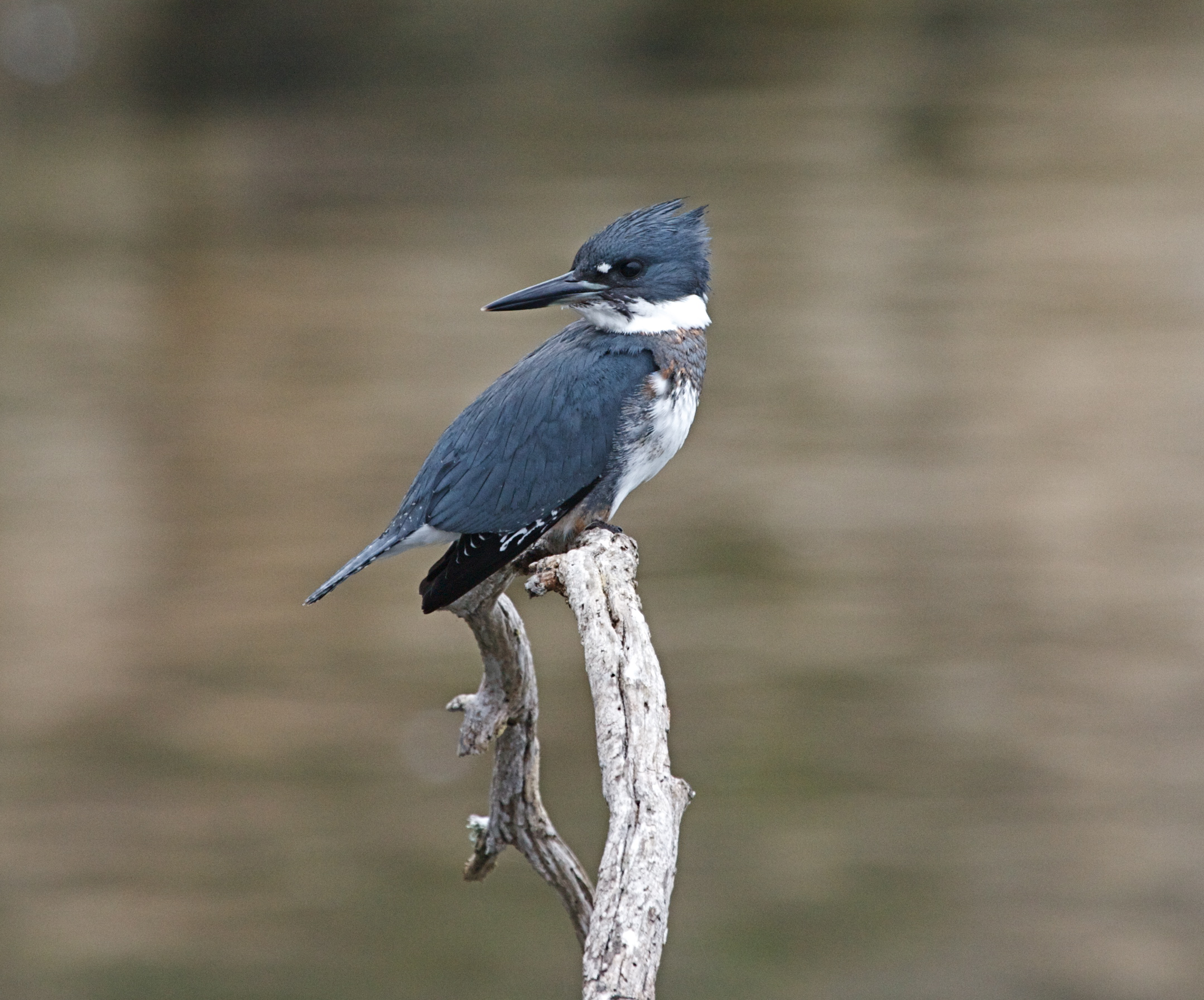 https://upload.wikimedia.org/wikipedia/commons/7/74/Belted_Kingfisher_m..jpg