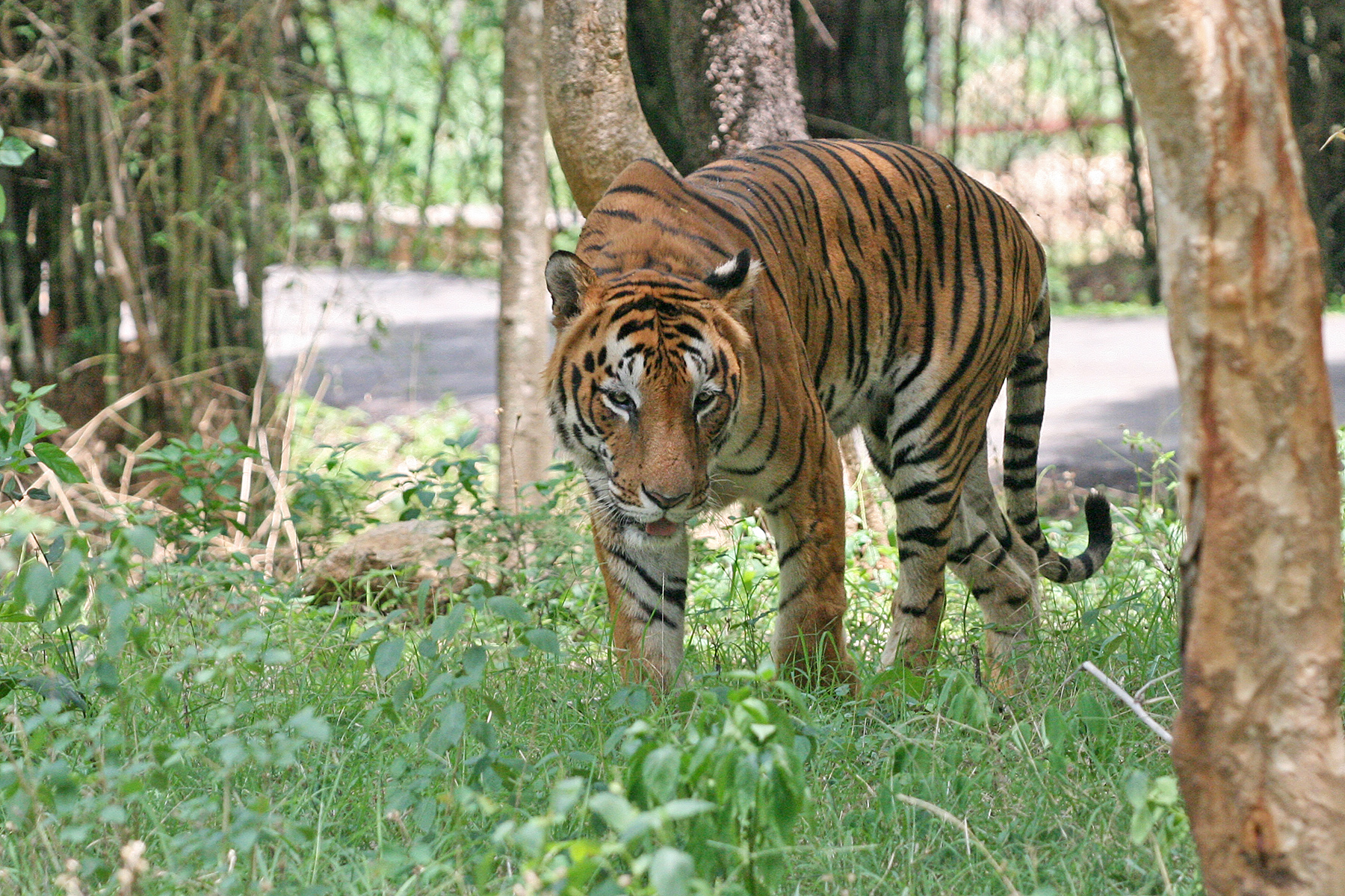 A Royal Bengal Tiger, the largest big cat in Bannerghatta National Park, India