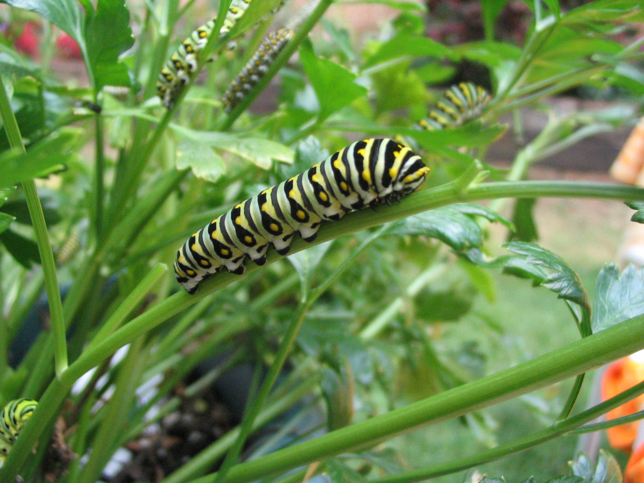 File:Black swallowtail caterpillar.jpg - Wikimedia Commons