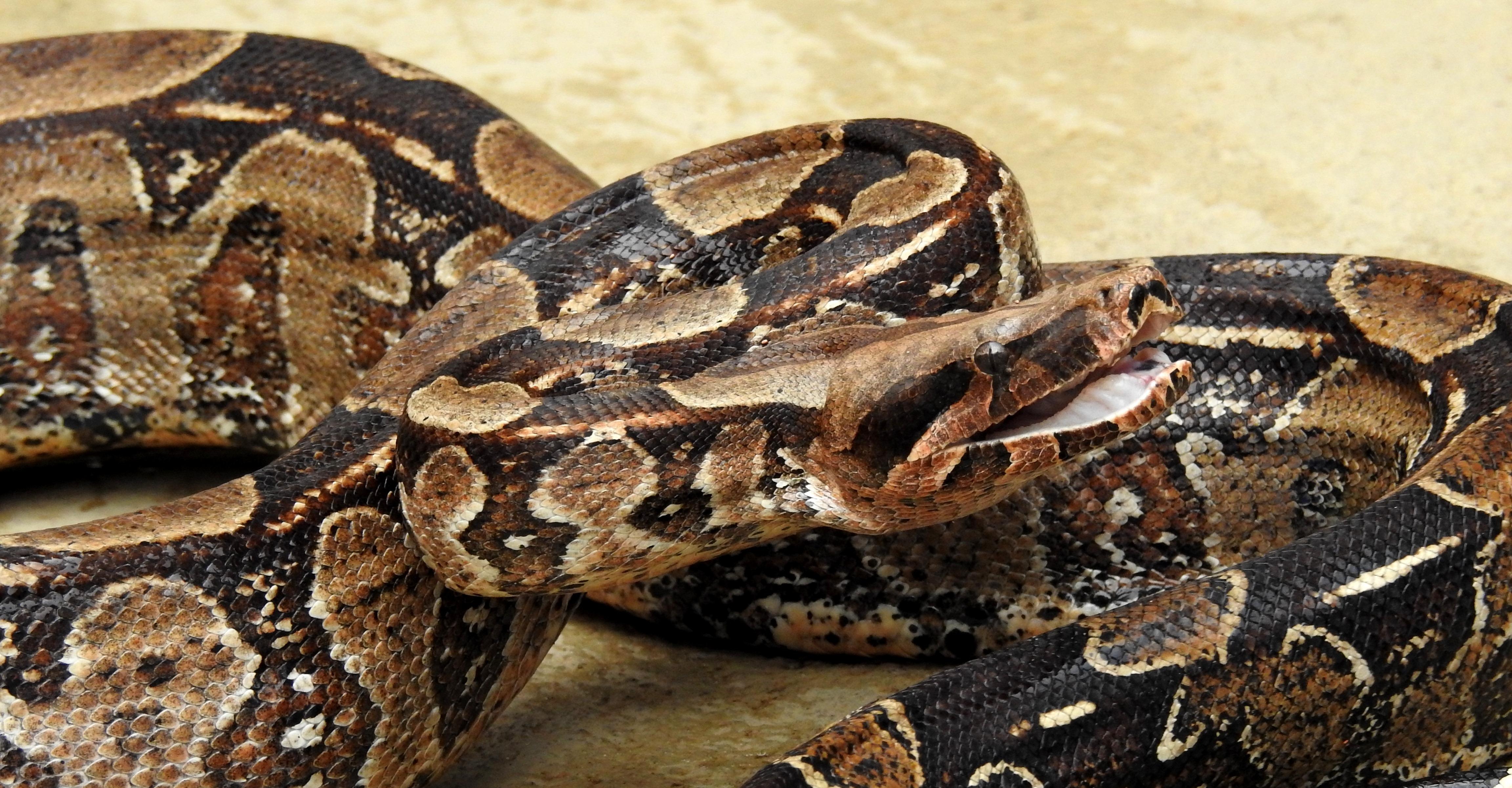 Preferência Ficheiro:Boa constrictor (Jibóia).jpg – Wikipédia, a enciclopédia  MG64