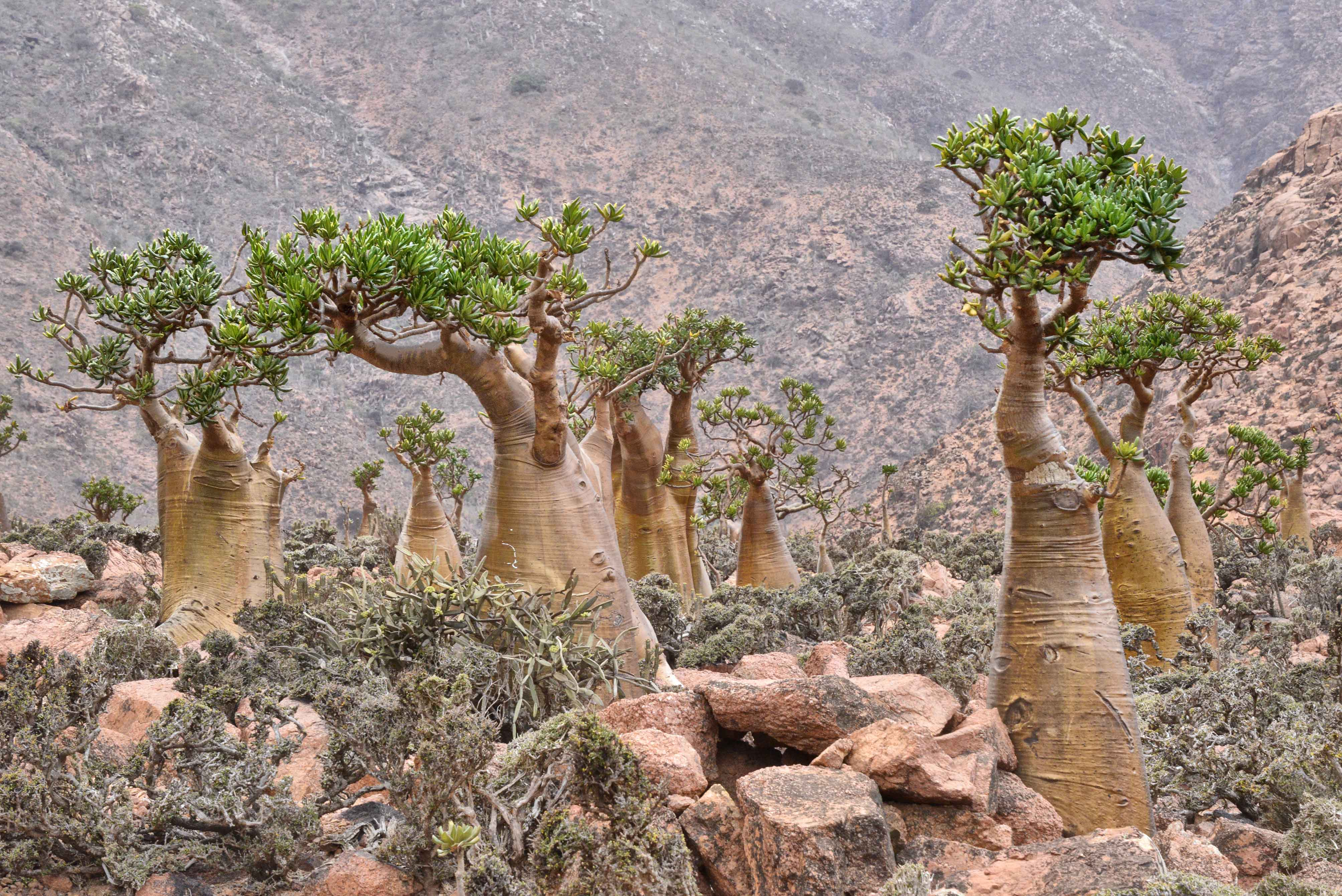 By Rod Waddington from Kergunyah, Australia (Bottle Trees, Socotra Island  Uploaded by russavia) [CC-BY-SA-2.0 (http://creativecommons.org/licenses/by-sa/2.0)], via Wikimedia Commons