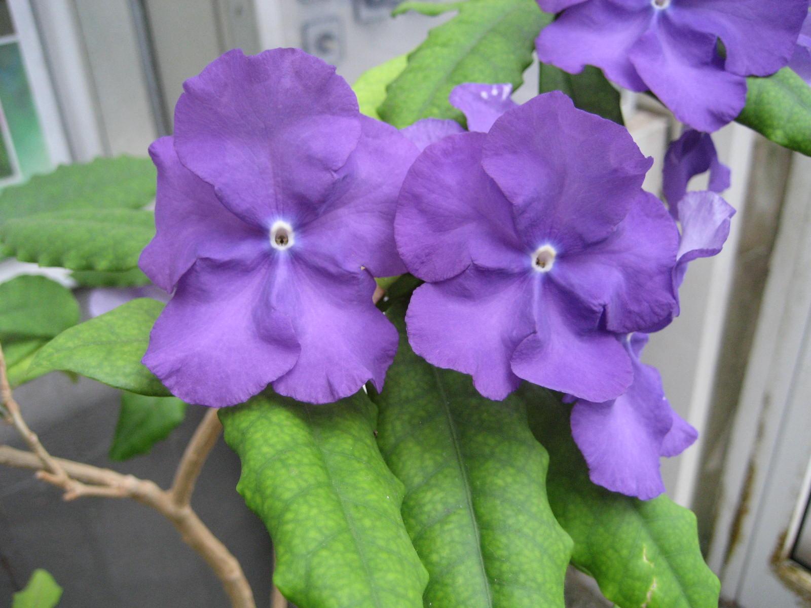 File:Brunfelsia pauciflora (Flower).jpg - Wikimedia Commons
