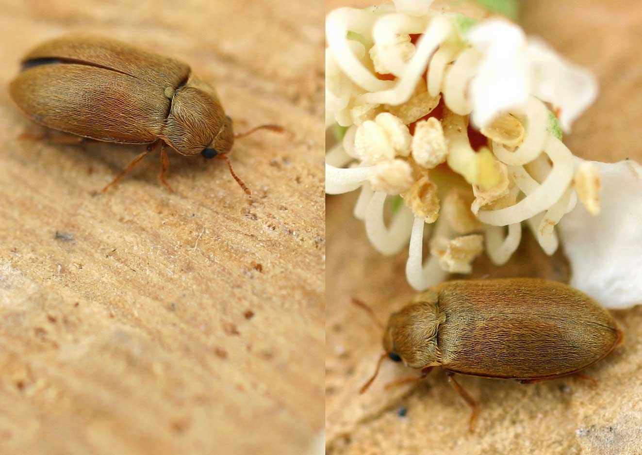 Himbeerkäfer (Byturus tomentosus)