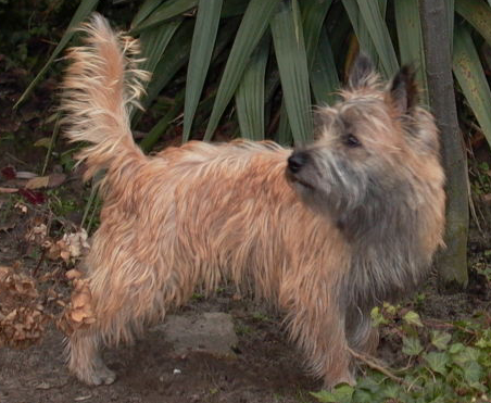 http://upload.wikimedia.org/wikipedia/commons/7/74/Cairn-Terrier-2008.PNG