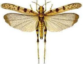 Australian plague locust Species of grasshopper