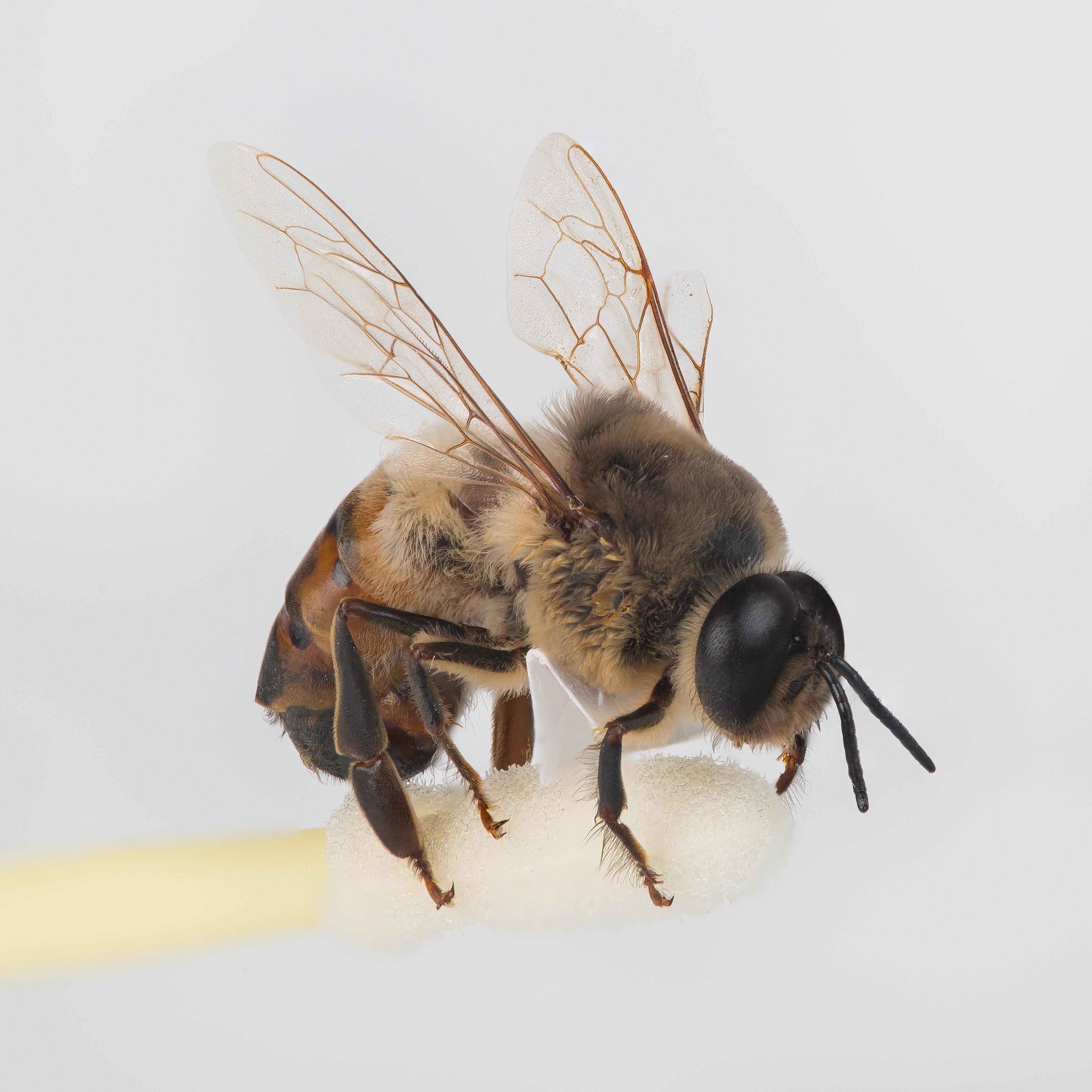 Drone Bee Wikipedia