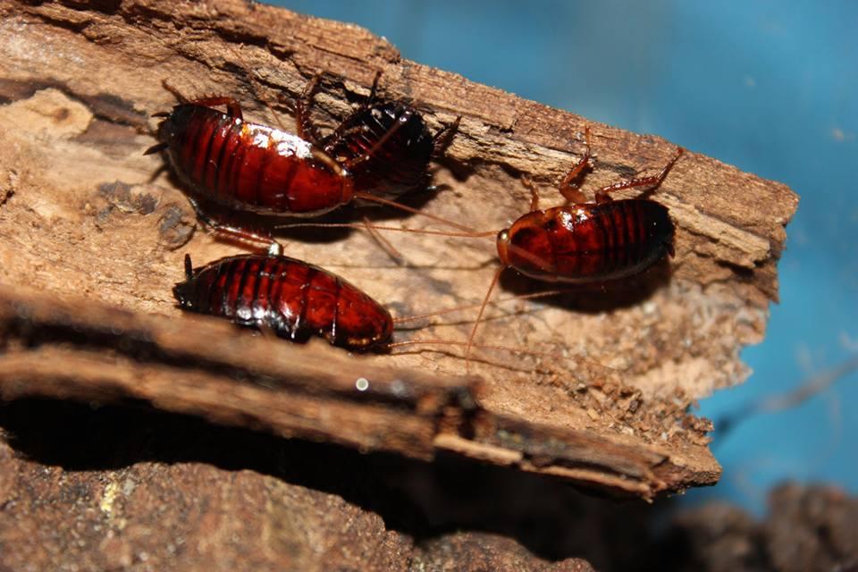 La Cucaracha del Bosque de Florida