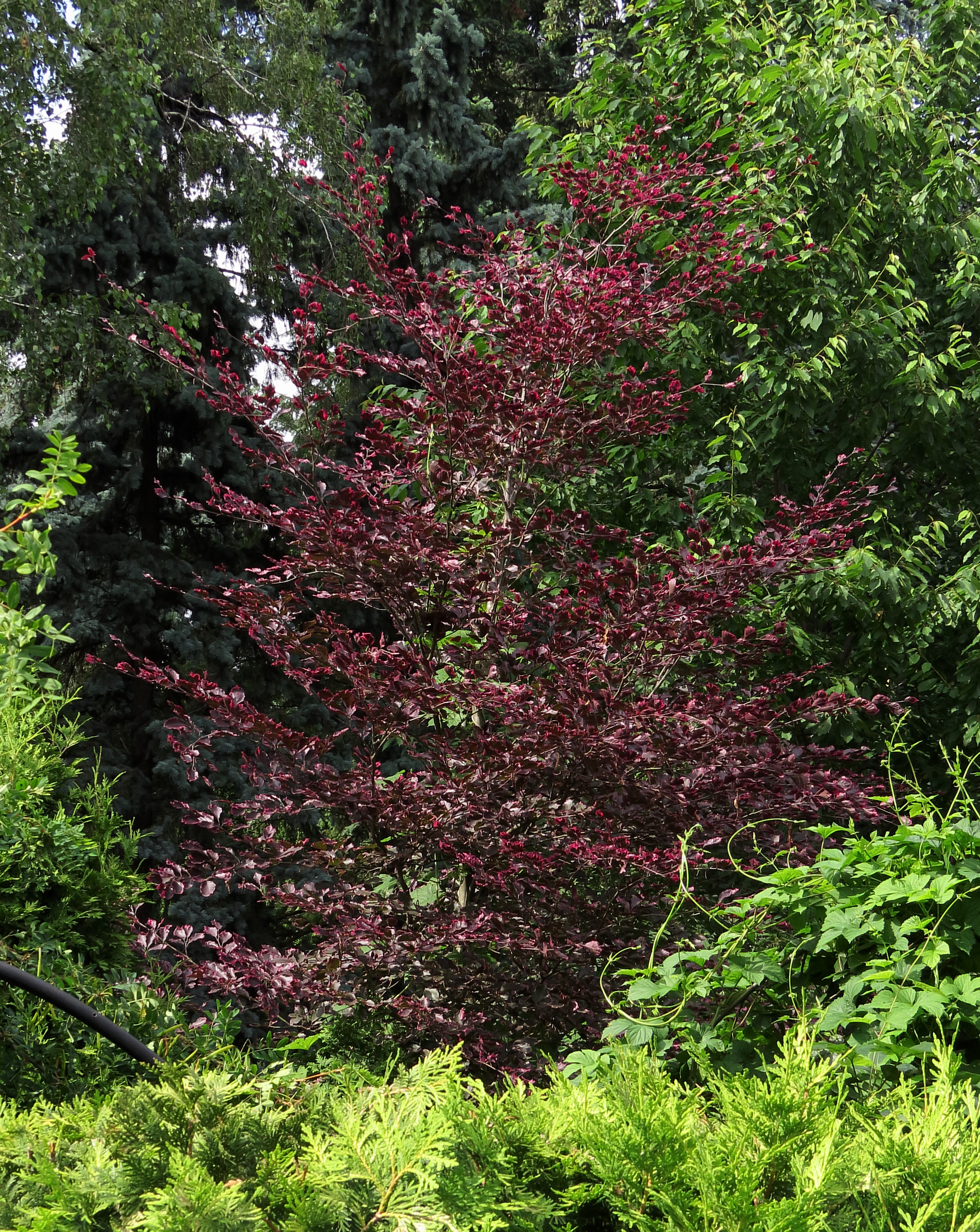 file fagus sylvatica 39 purpurea tricolor 39 syrets1 jpg. Black Bedroom Furniture Sets. Home Design Ideas