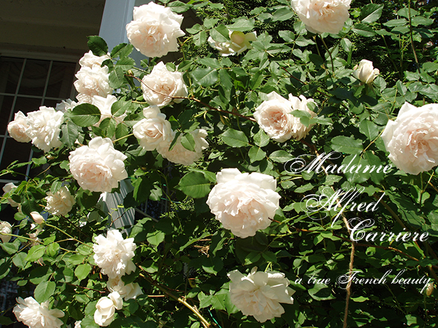 old climbing roses are still around today. Black Bedroom Furniture Sets. Home Design Ideas