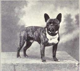French Bulldog old photograph