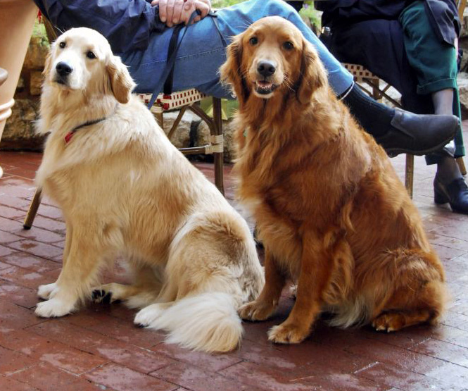 Golden Retrievers dark and light