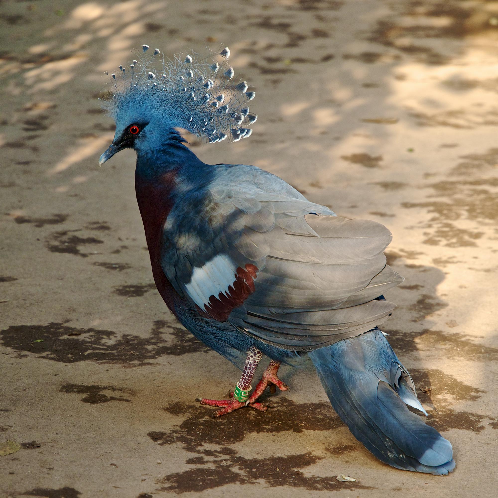 Victoria Crowned Pigeon Wikipedia 100 Rupiah Burung Dara