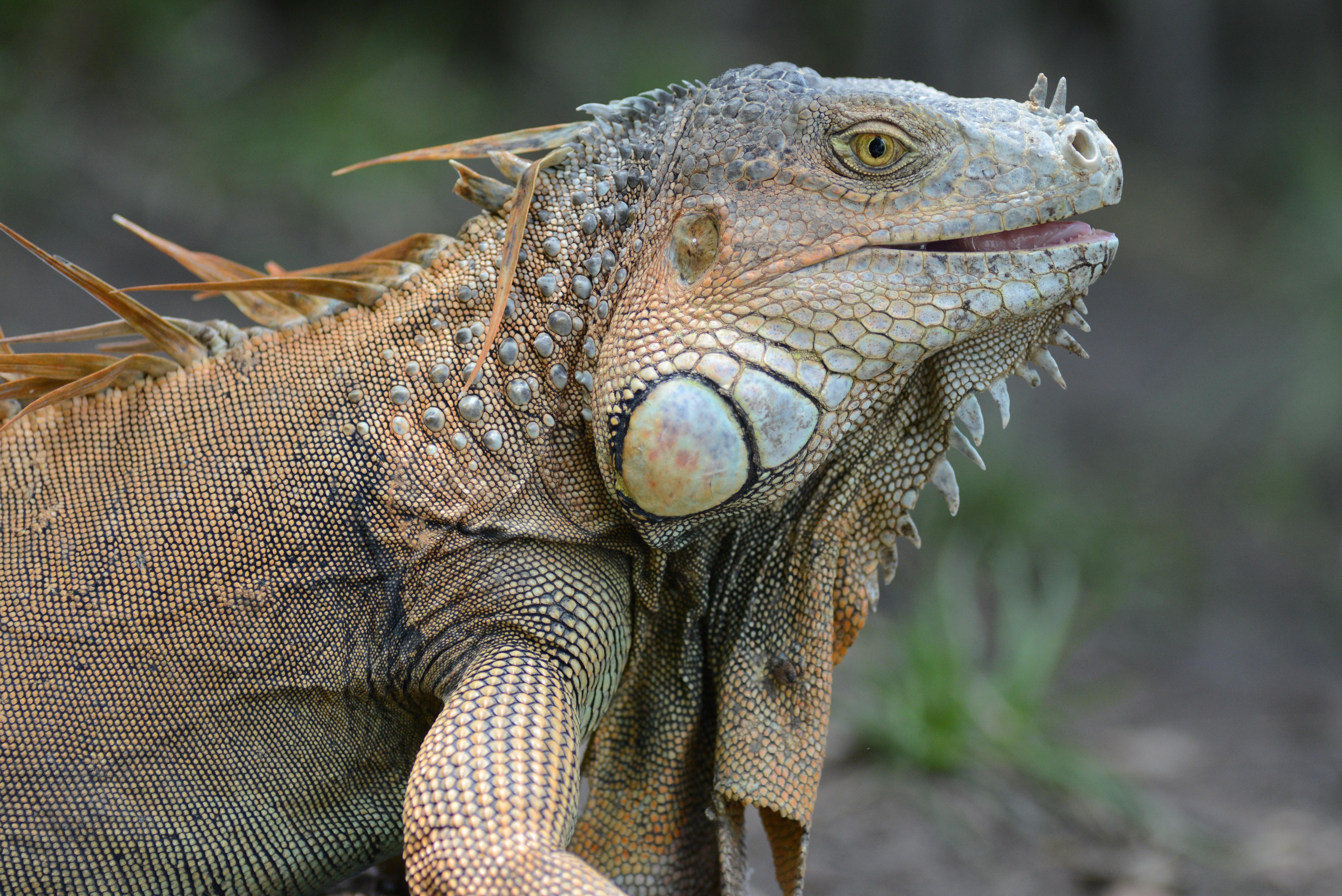 Brighter future for Jamaican Iguanas