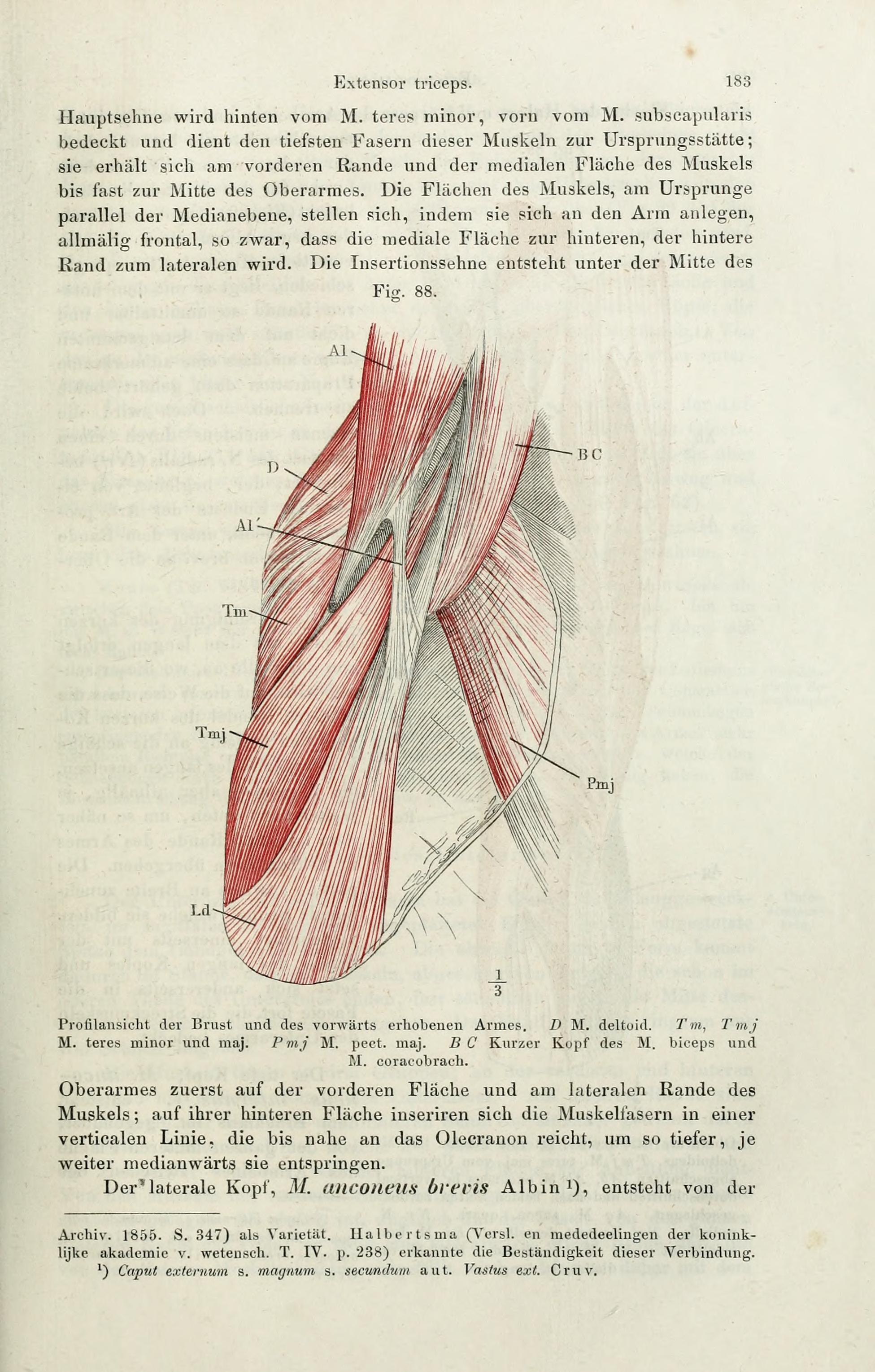 File:Handbuch der systematischen Anatomie des Menschen (Page 183 ...