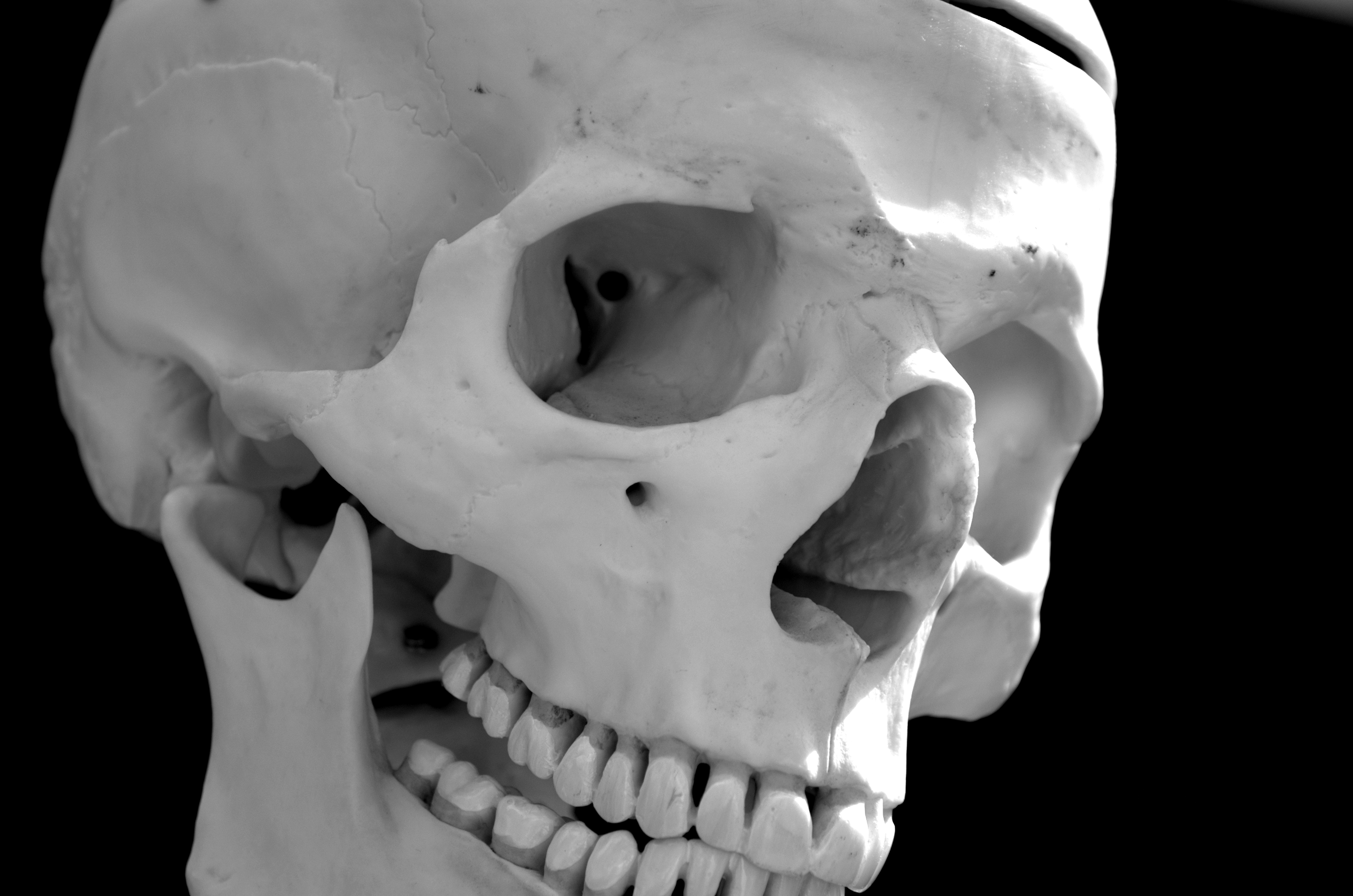 Filehuman skull black and white jpg wikimedia commons
