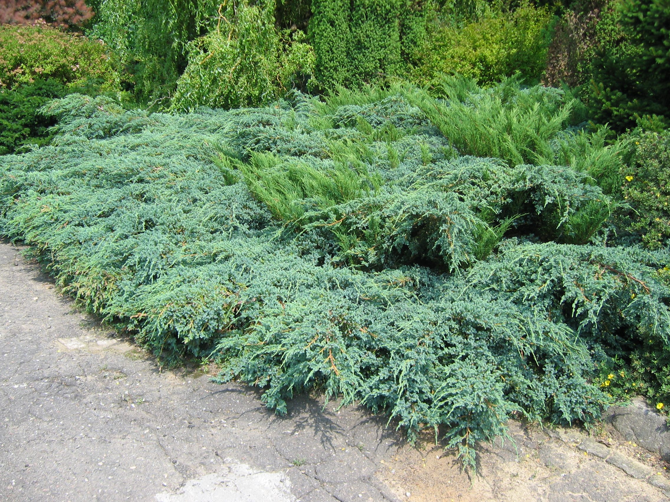 Juniperus cade cedar red eastern cedar western juniper for The juniper