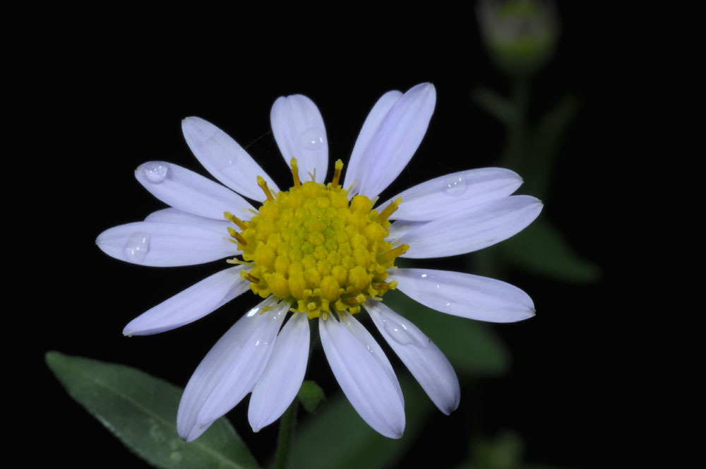 Do daisies reproduce sexually or asexually