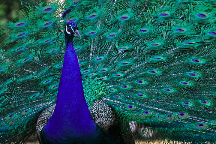 File:Lightmatter peacock.jpg