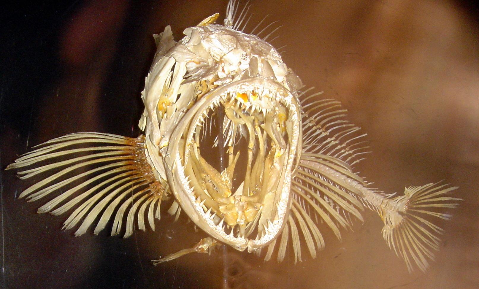 Fish Anatomy Wikiwand