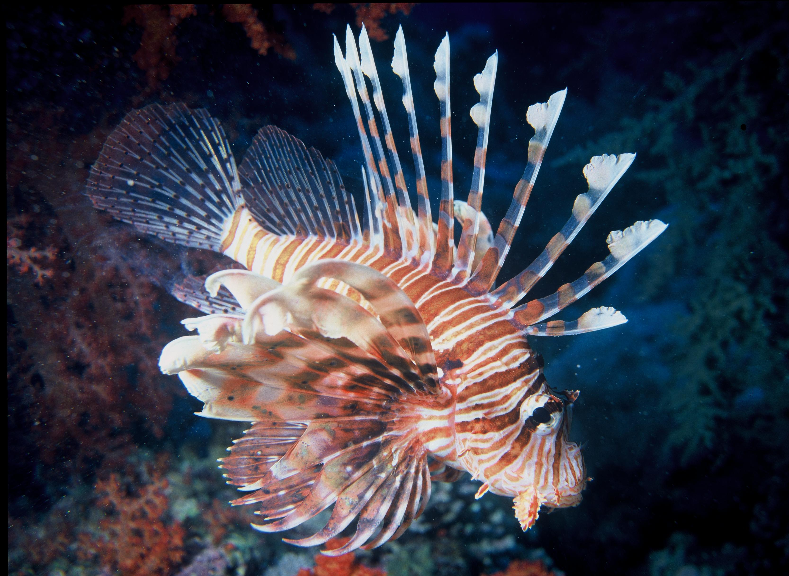 News watch lionfish stalked and devoured by a grouper for How many fish are in the world