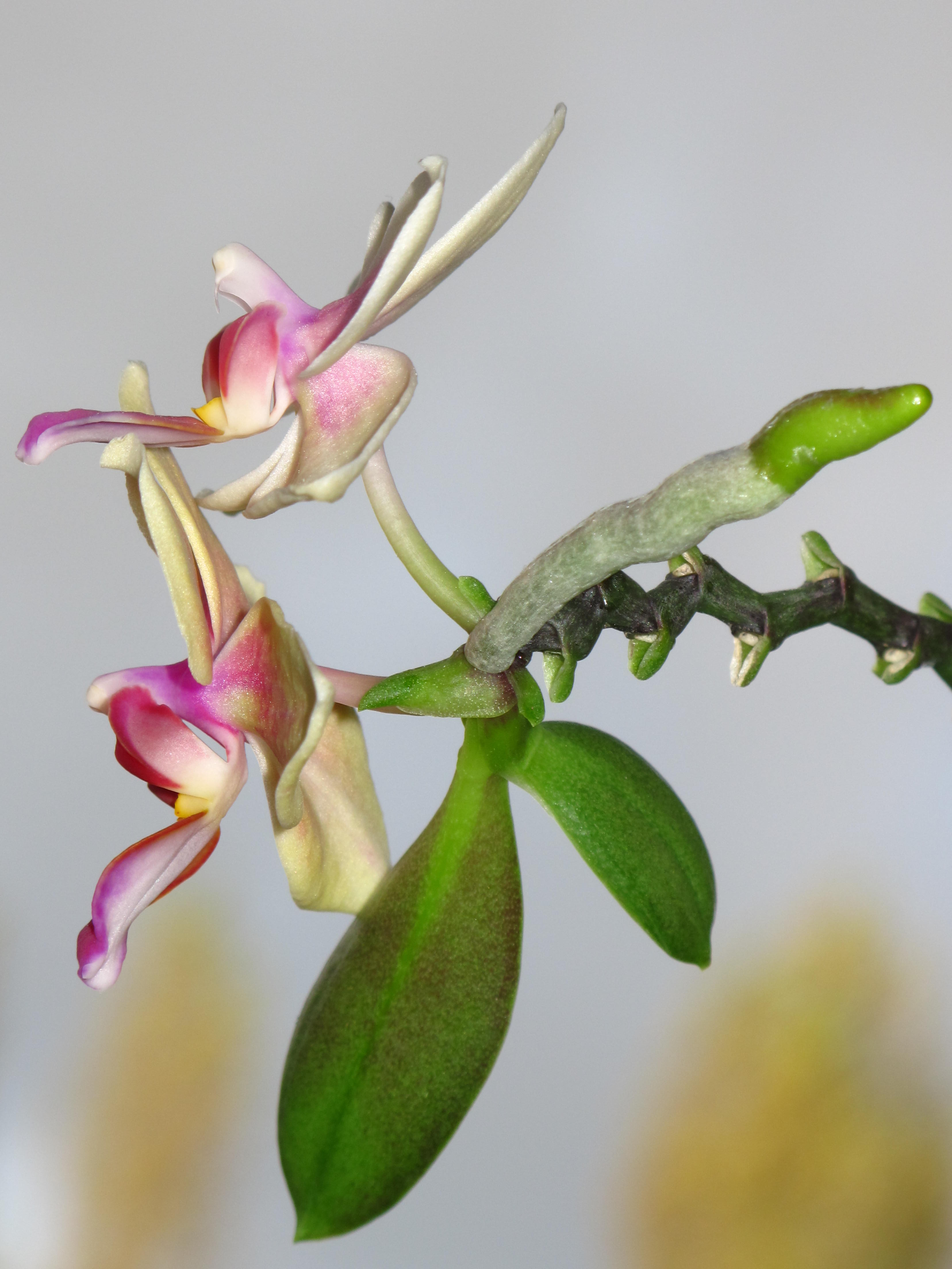 File little orchid d1211 and wikimedia commons for Orchidea fioritura