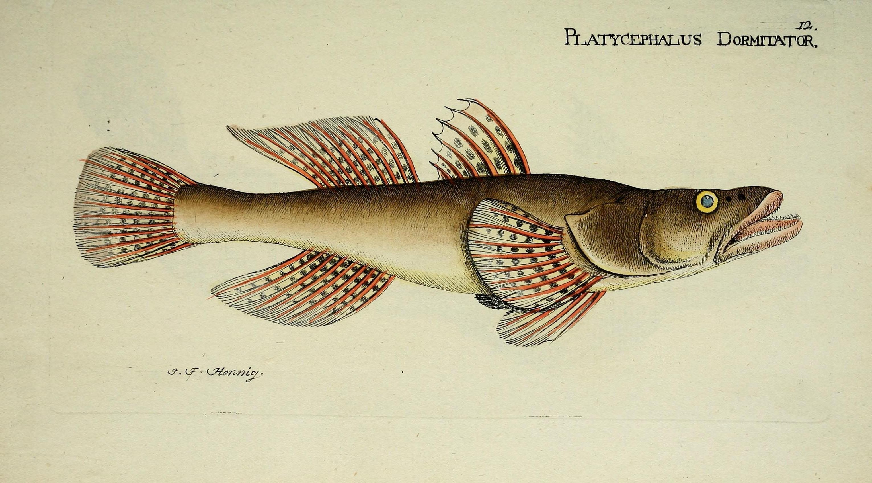 M.E. Blochii ... Systema ichthyologiae iconibus CX illustratum (Plate 12) (7038486293).jpg © Bloch, Marcus Elieser; Hennig, J. F.; Schneider, Johann Gottlob