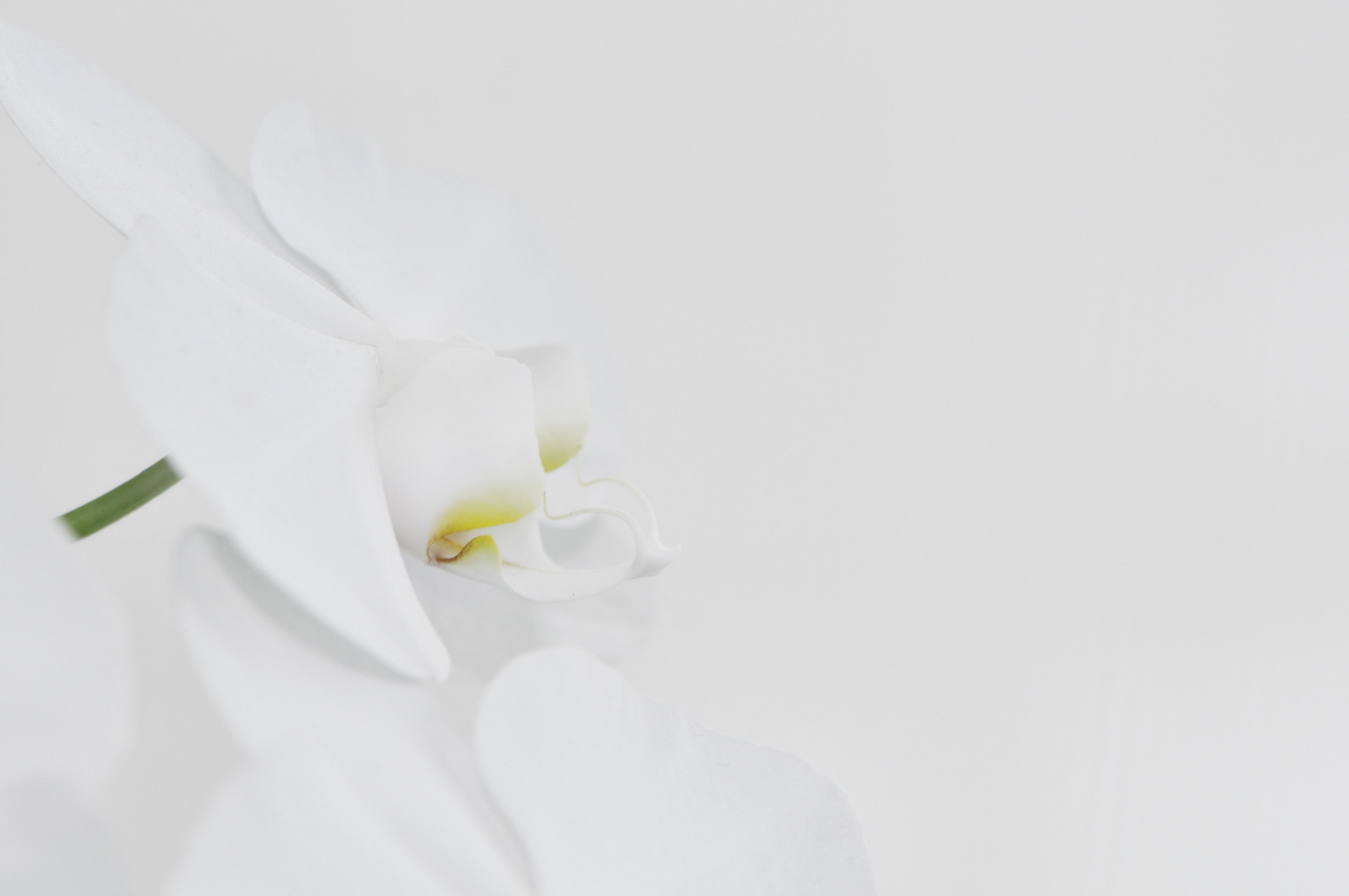 file nachtfalter orchidee phalaenopsis 04 jpg. Black Bedroom Furniture Sets. Home Design Ideas