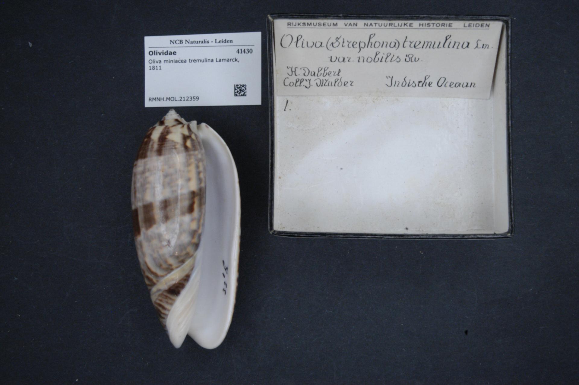 File:Naturalis Biodiversity Center - RMNH MOL 212359 - Oliva