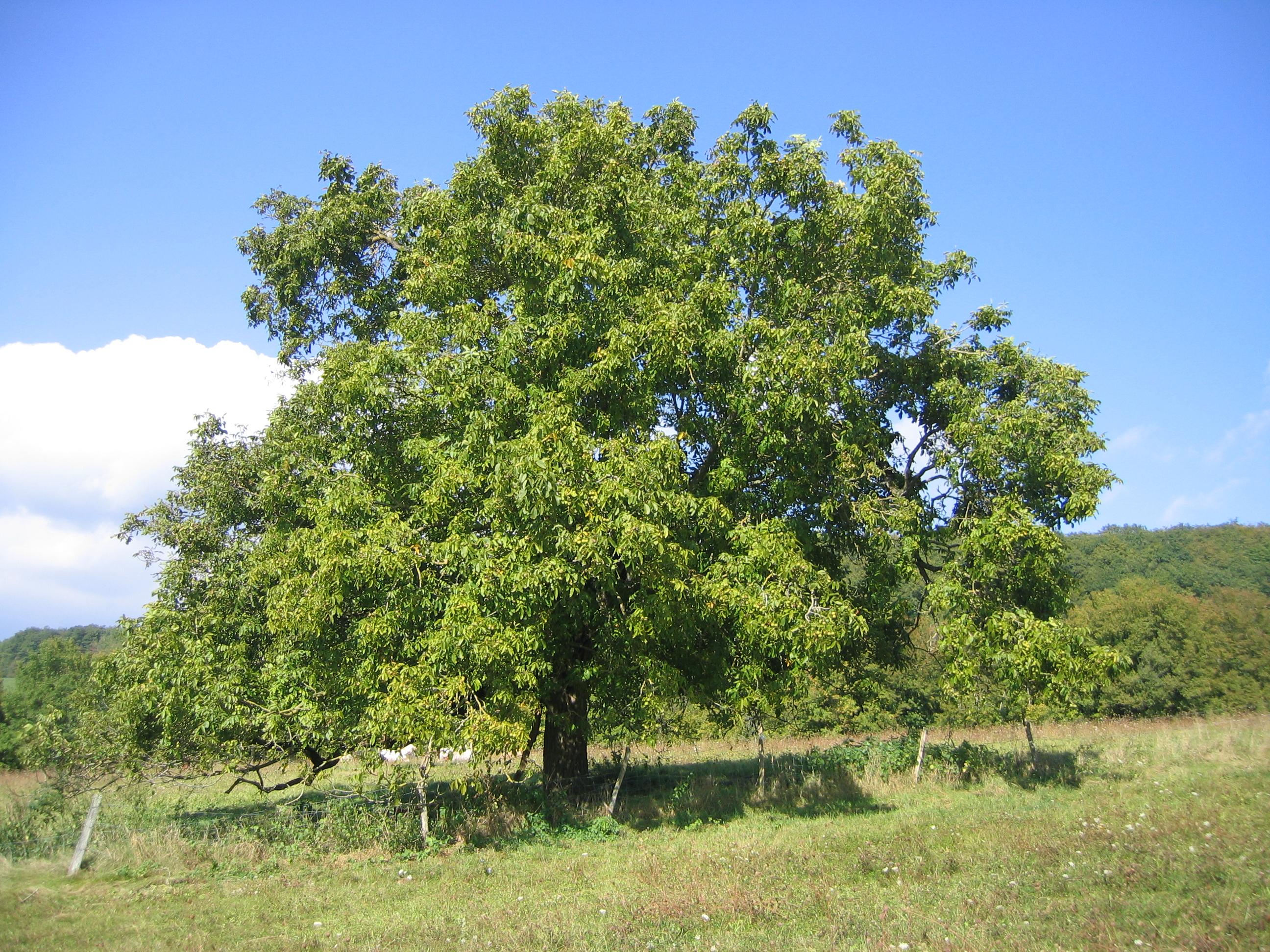 на каком дереве растет грецкий орех
