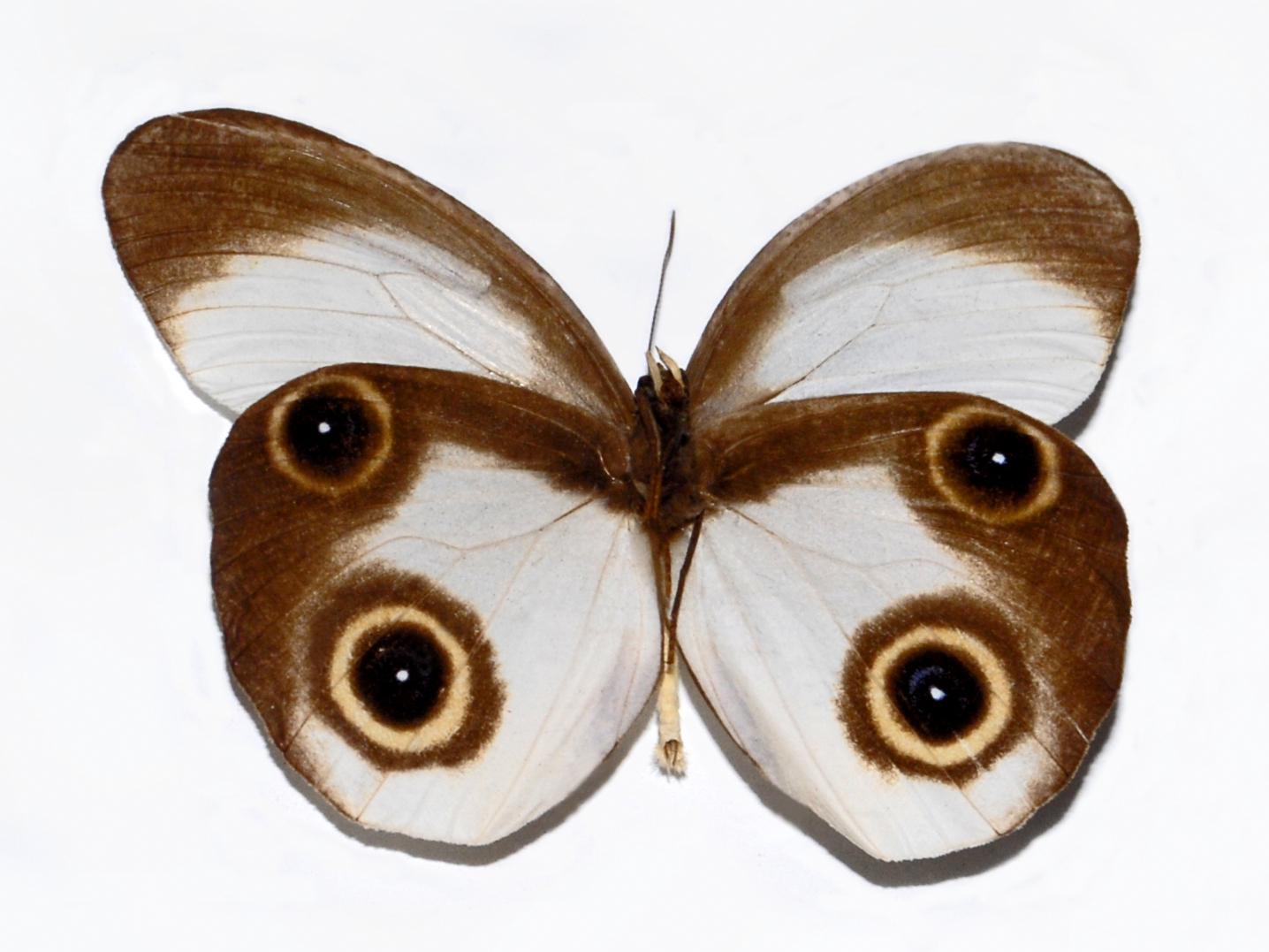 Bộ sưu tập cánh vẩy 5 - Page 29 Nymphalidae_-_Taenaris_macrops