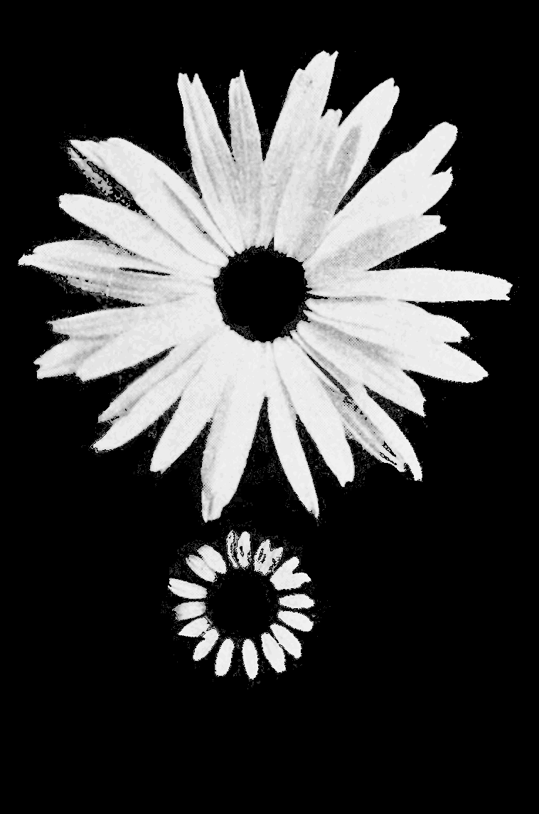PSM V66 D219 Original and improved shasta daisy.png