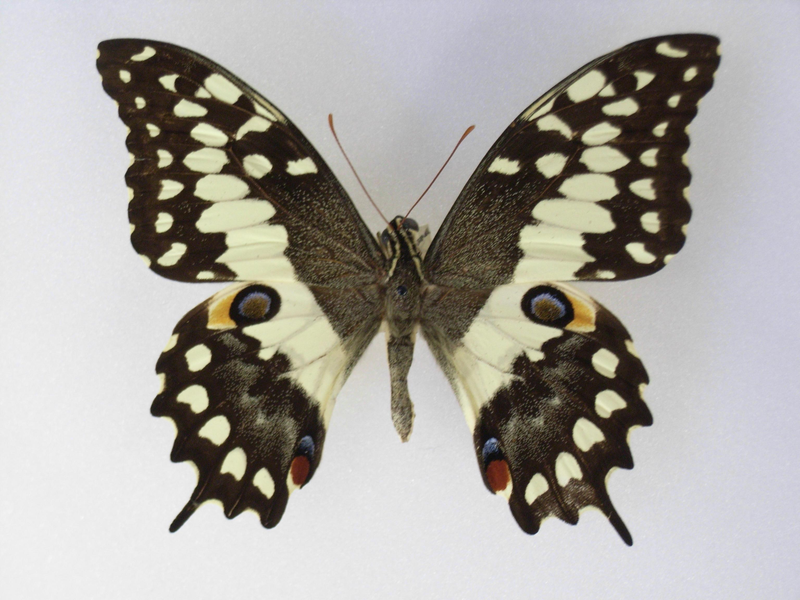 Sưu tập Bộ cánh vẩy 2 - Page 66 Papiliomorondavana
