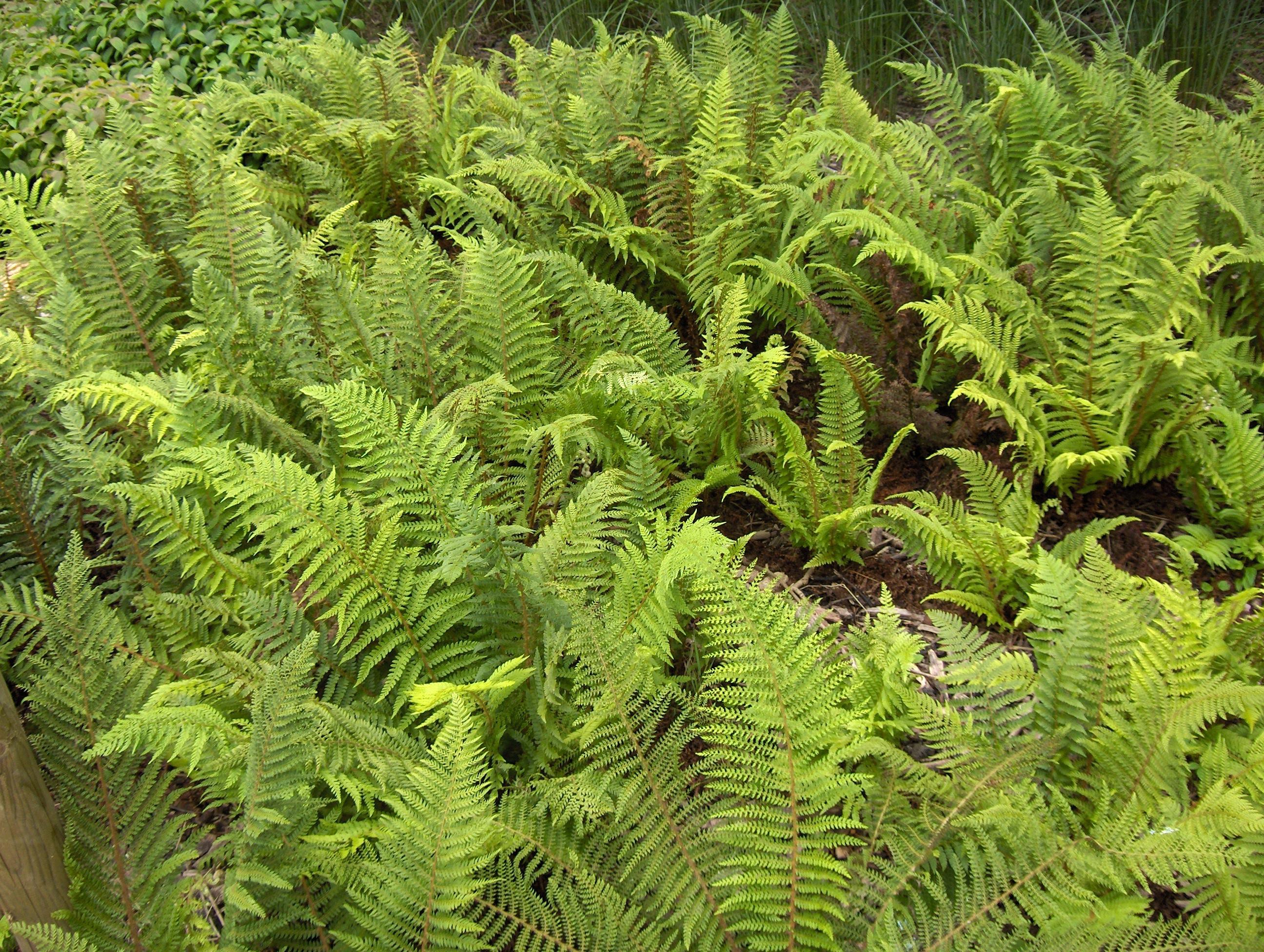 File polystichum setiferum wikimedia commons for Plantas ornamentales wikipedia