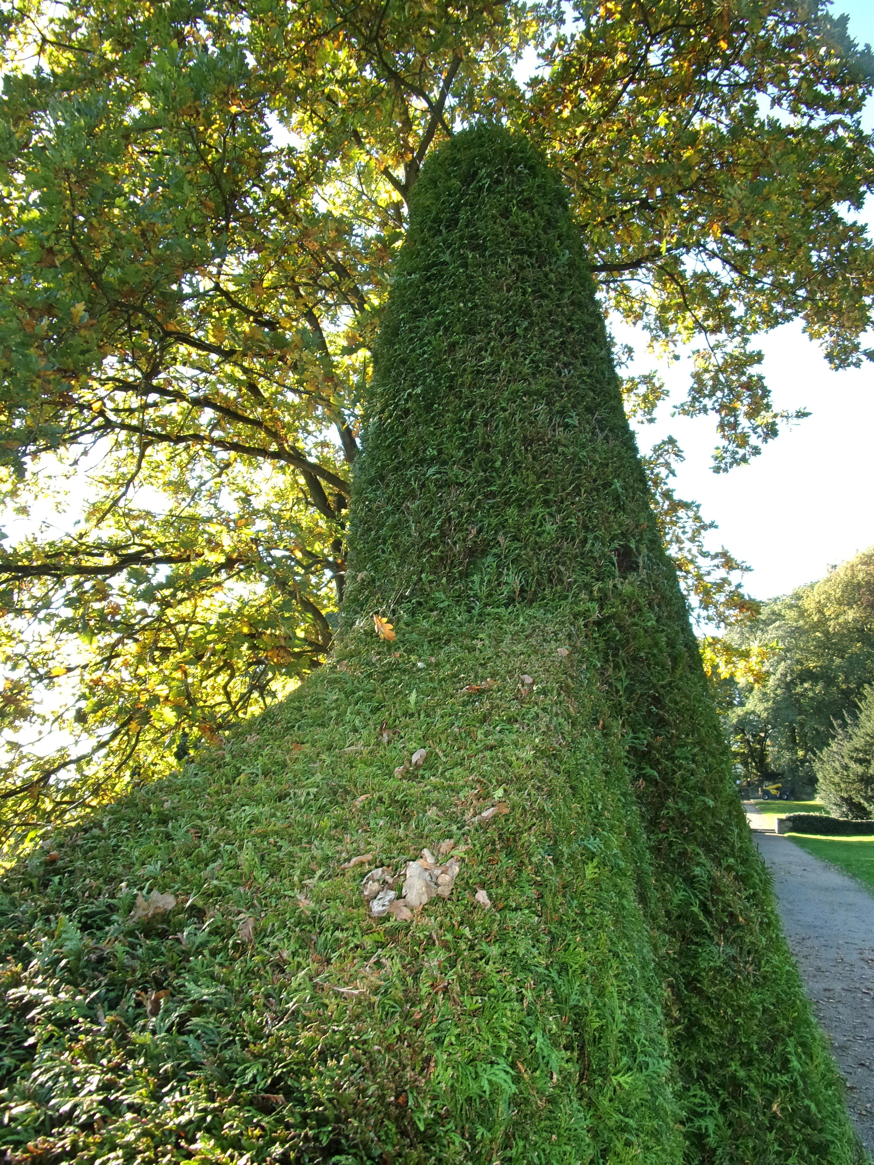 File Romischer Garten Thuja Hecke 3 Jpg Wikimedia Commons