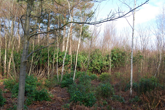 Rhododendrons, West Blean Wood - geograph.org.uk - 1143243