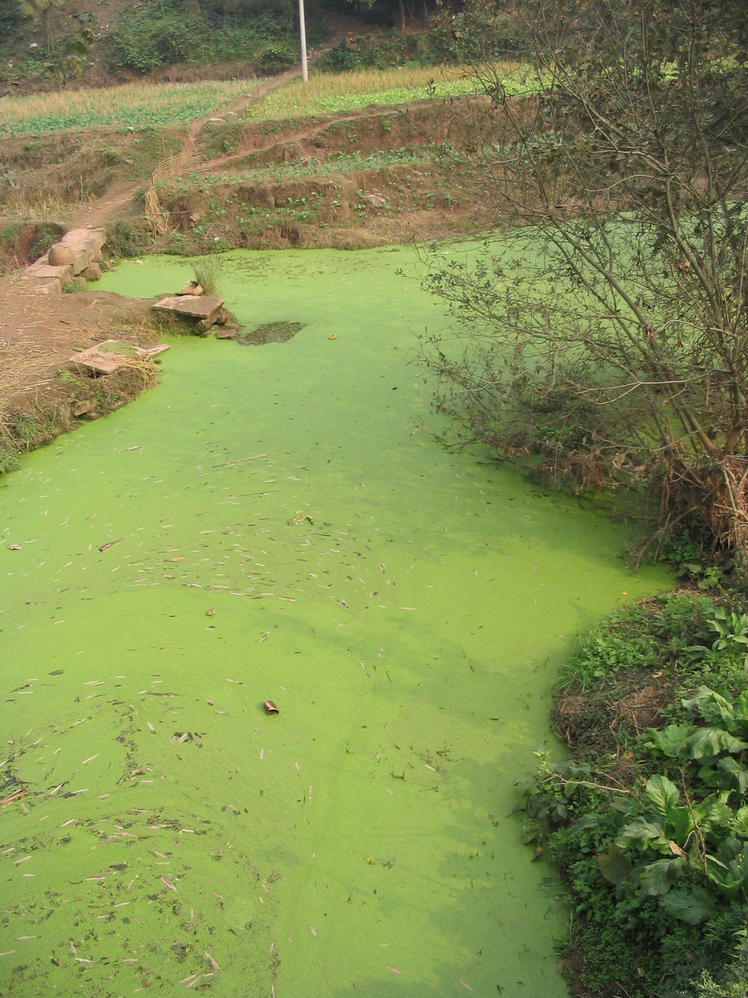algal blooms Bluegreen algae, or cyanobacteria, are simple life forms closely related to bacteria that resemble true algae when conditions are right, cyanobacteria will bloom are can turn lake water turbid with green, blue-green, or reddish-brown colored algae.