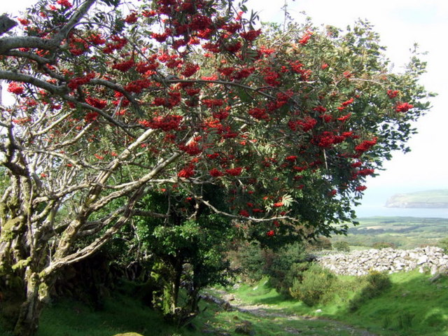 Fil:Rowan berries for the birds - geograph.org.uk - 1475632.jpg