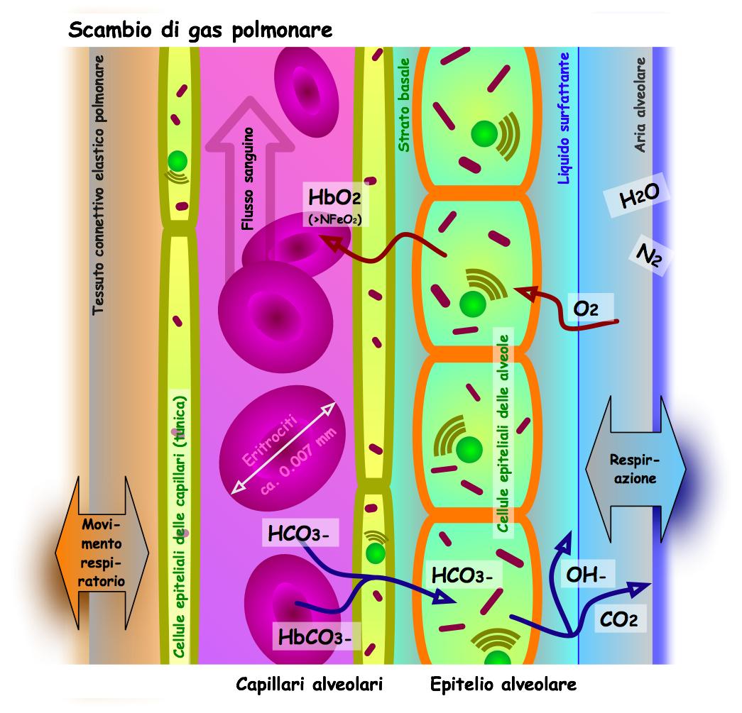 Hematosis - Wikipedia, la enciclopedia libre