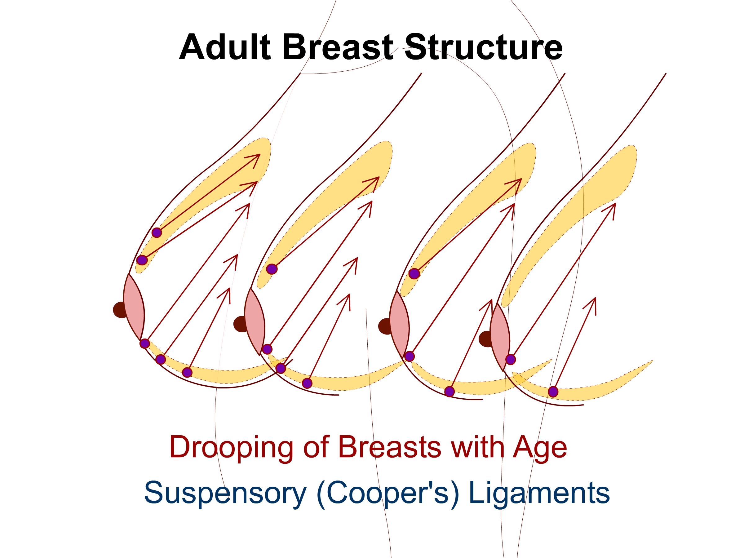 Filesuspensory Coopers Ligaments Of The Breastg Wikimedia