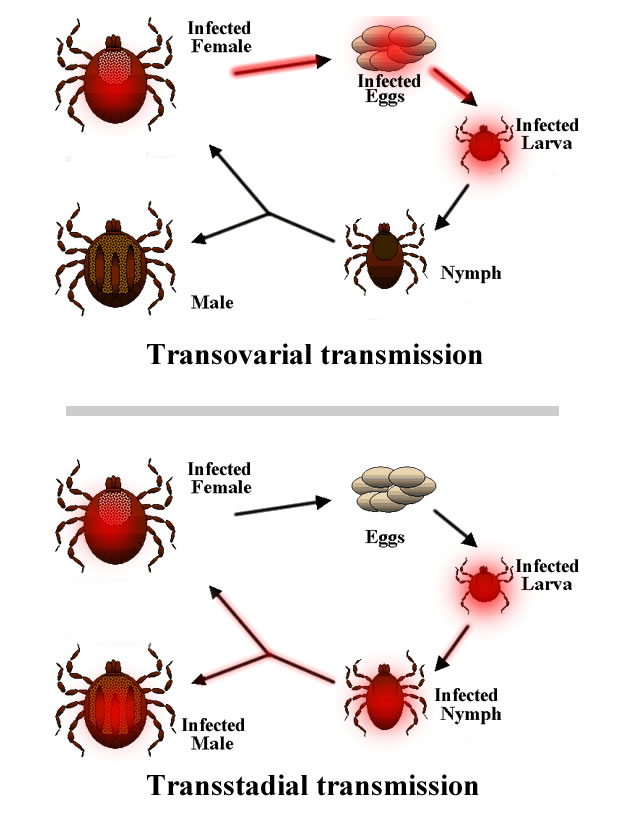 How Much Is A Transmission >> Transovarial transmission - Wikipedia