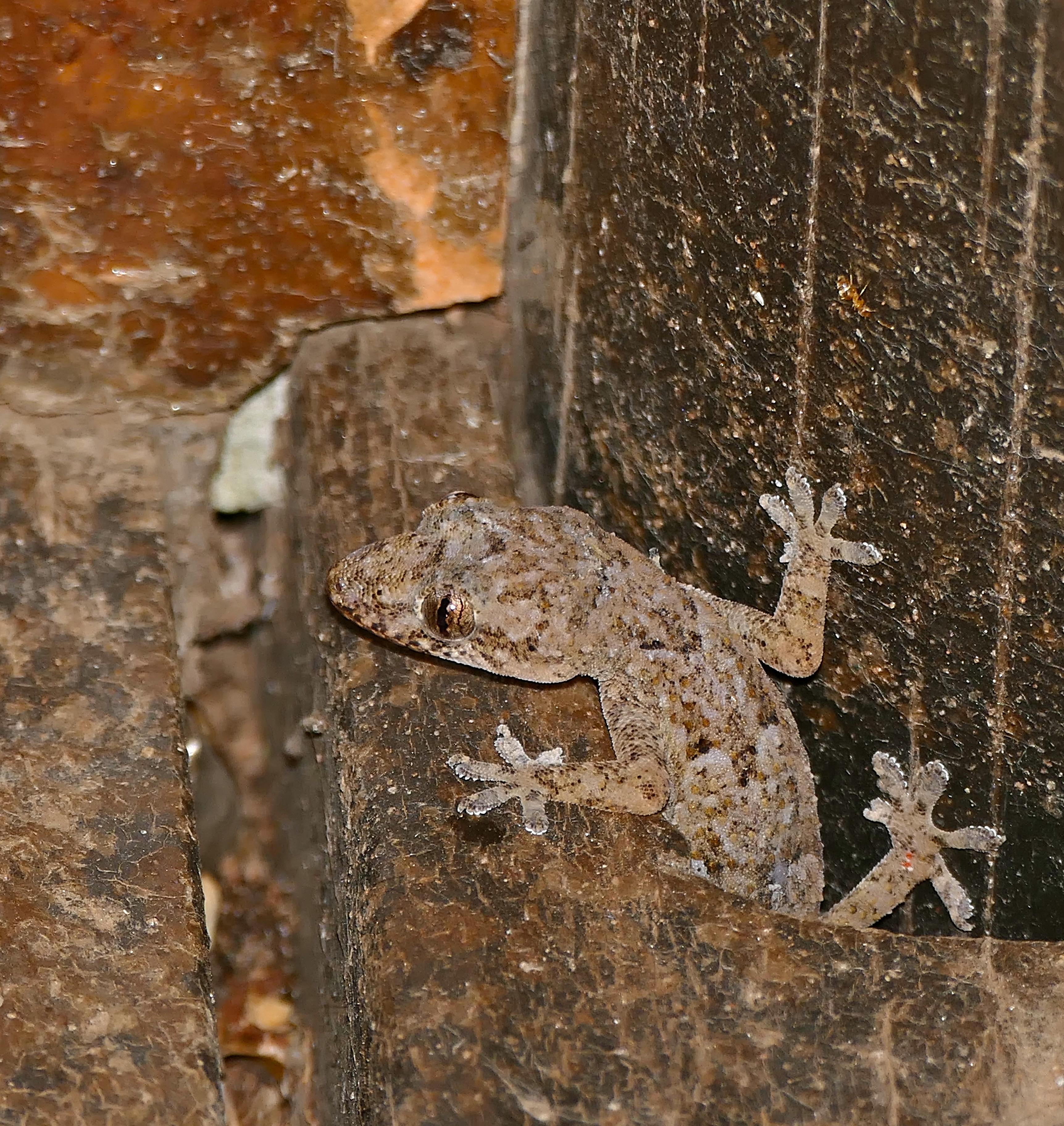 file:tropical house gecko (hemidactylus mabouia) (32152781296)
