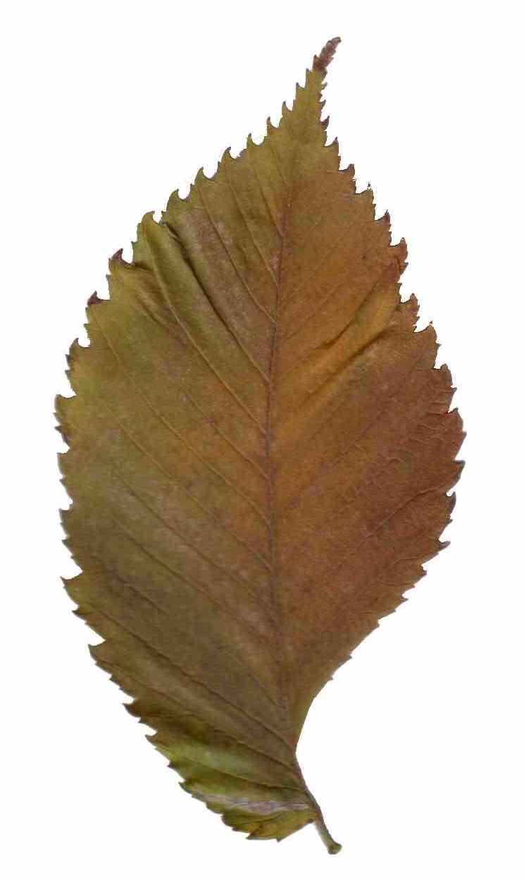 File Ulmus Leave 20040126 Part1 Jpg Wikimedia Commons
