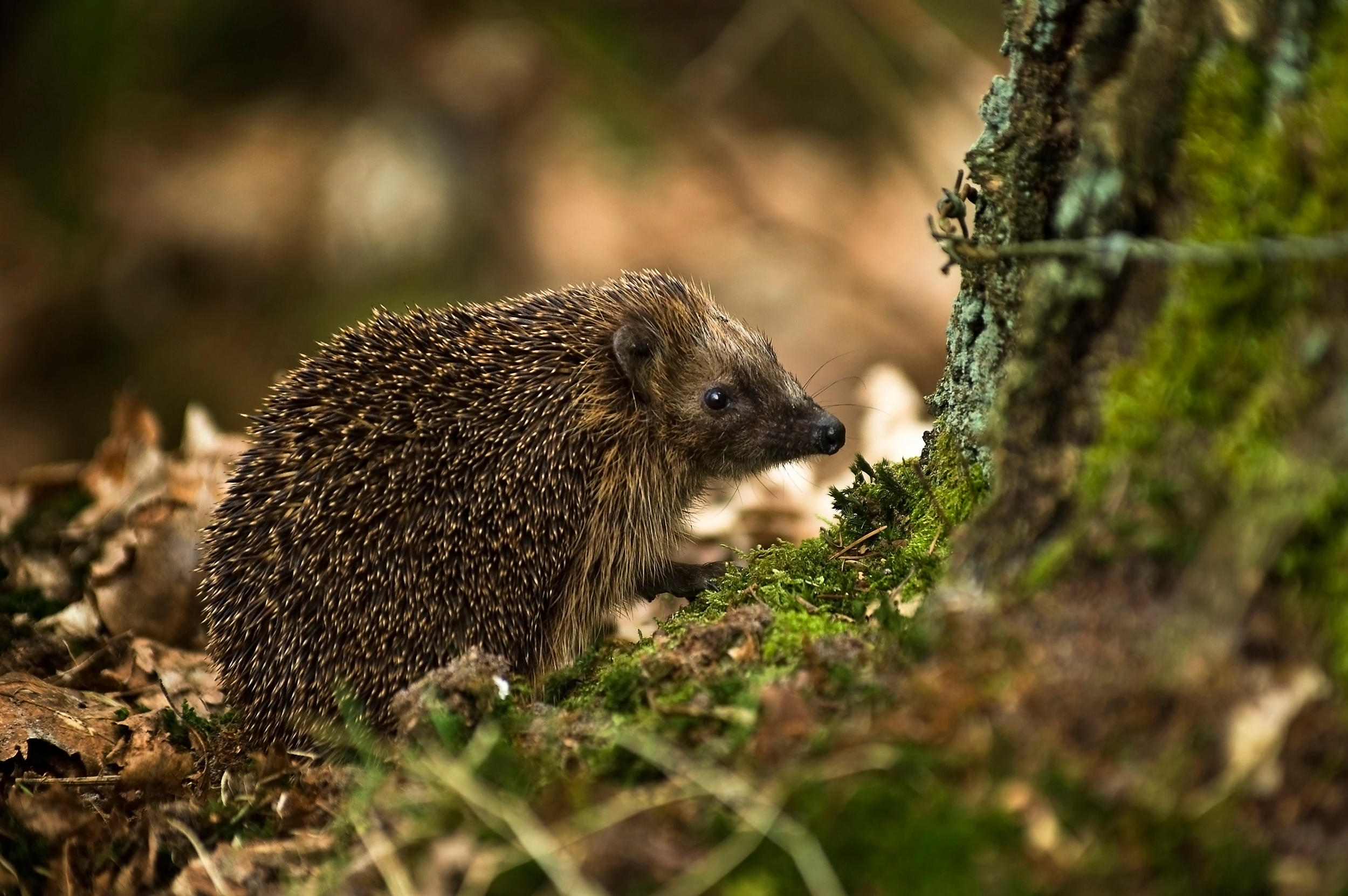 File West European Hedgehog Erinaceus Europaeus