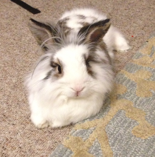 Brown and white lionhead rabbit - photo#1