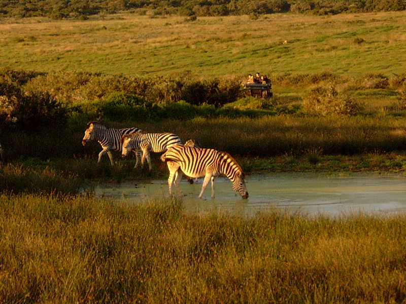 http://upload.wikimedia.org/wikipedia/commons/7/74/Zebras%2C_Shamwari_Game_Reserve%2C_South_Africa.jpg