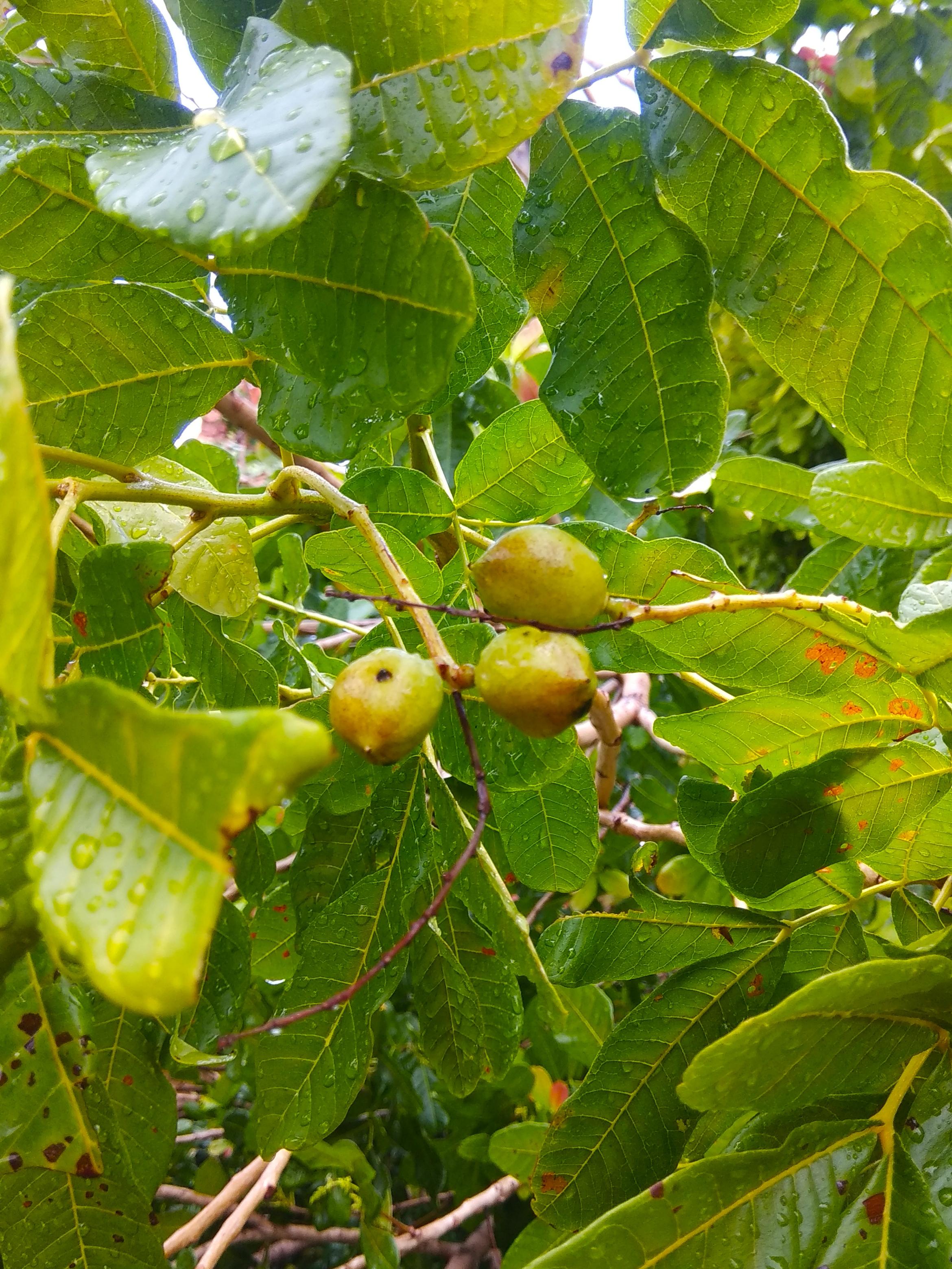 File:'+arya+' Schleichera oleosa ꦏꦼꦱꦩ꧀ꦧꦶ kesambi pilang Kramat 2019 1.jpg