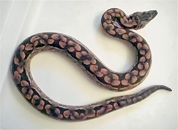 slange på engelsk