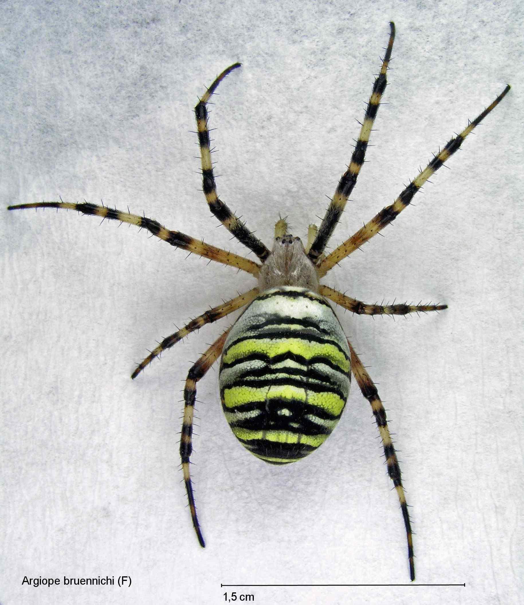 Nederlandse spinnen